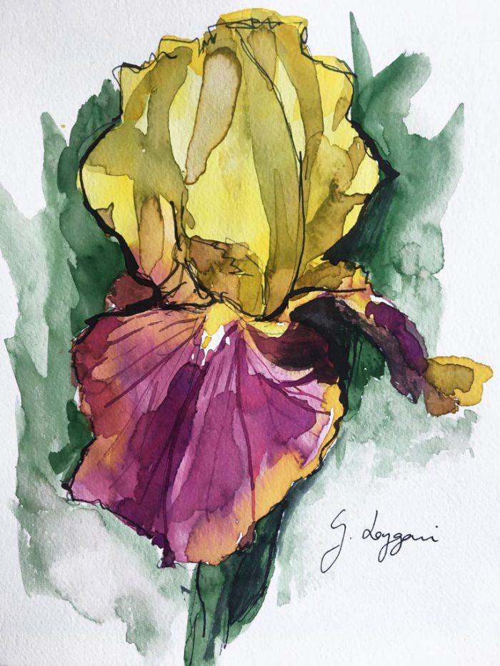 Iris 'Country Charm' II